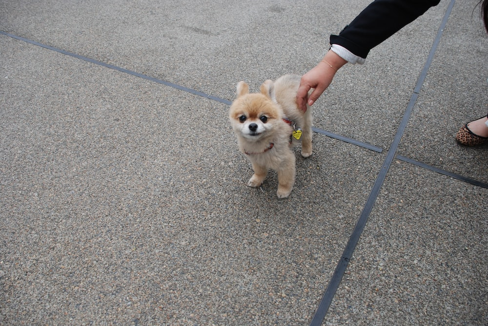 short coated beige puppy on grey concrete pavement