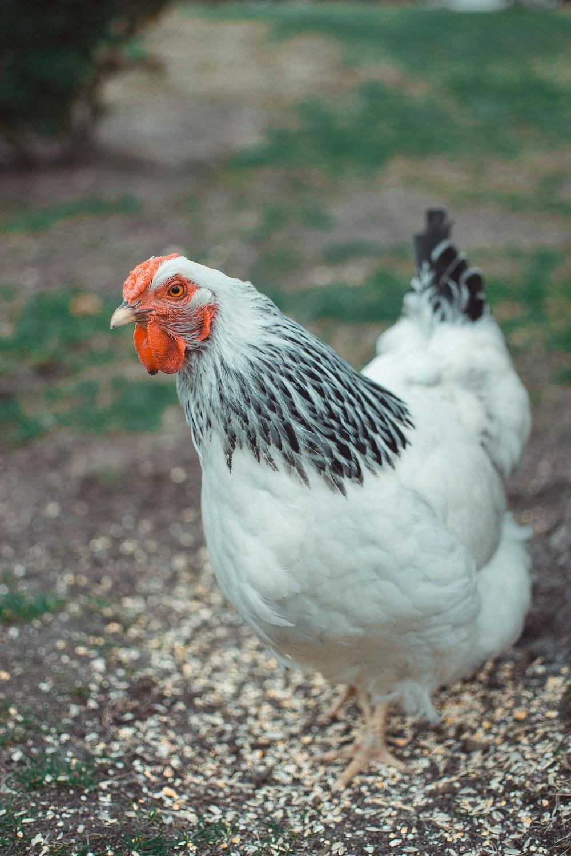 white and black chicken