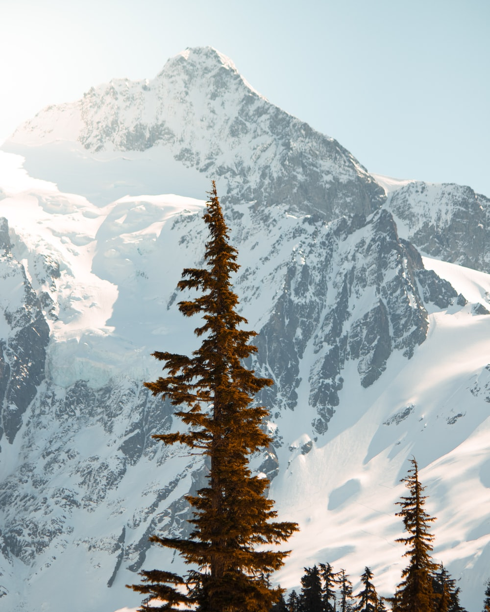 pine tree with mountain background
