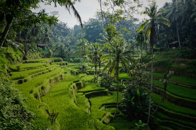 green rice field bali teams background