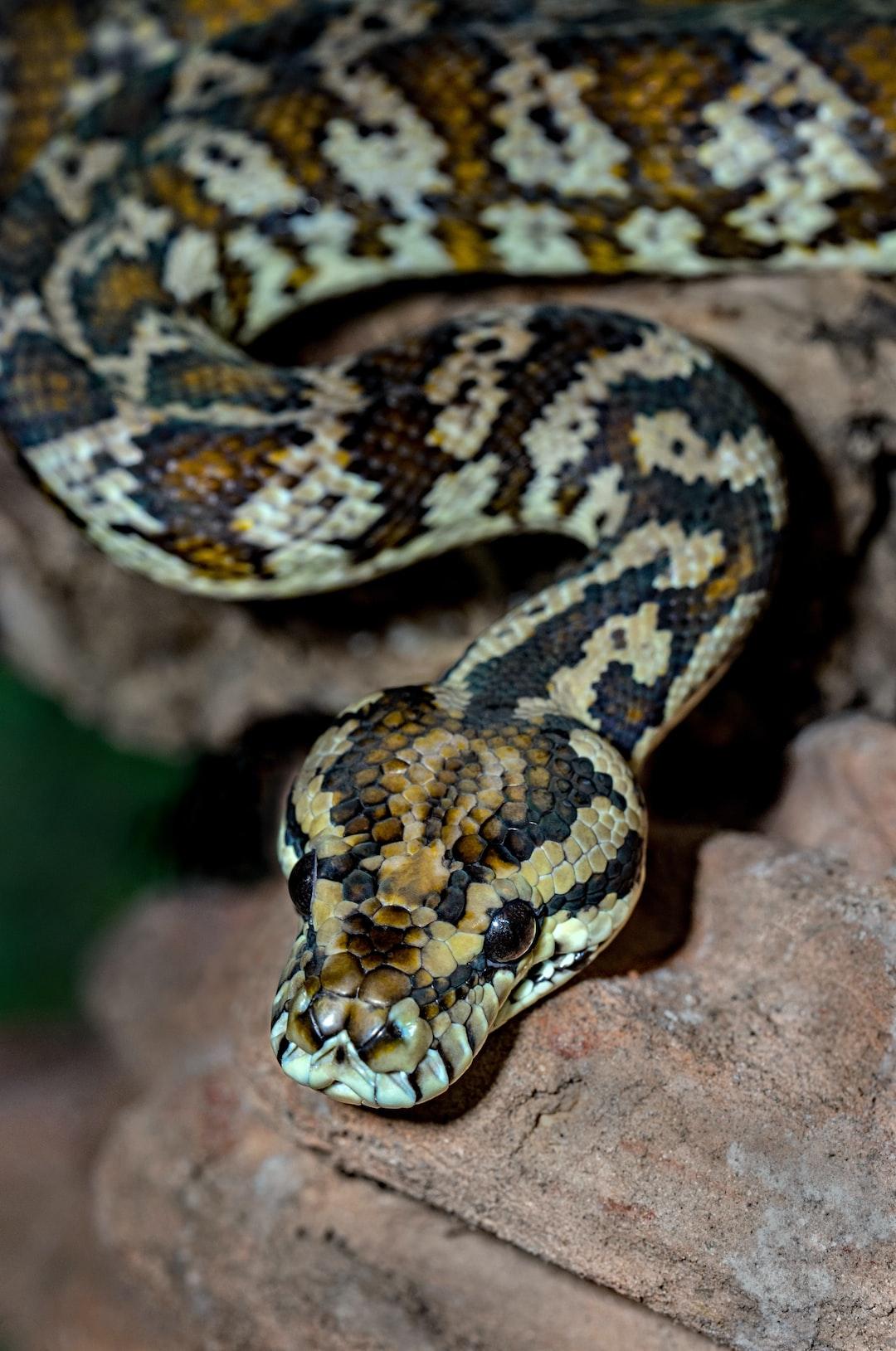 The pretty Darwin colour form of the carpet python Morelia spiloata.