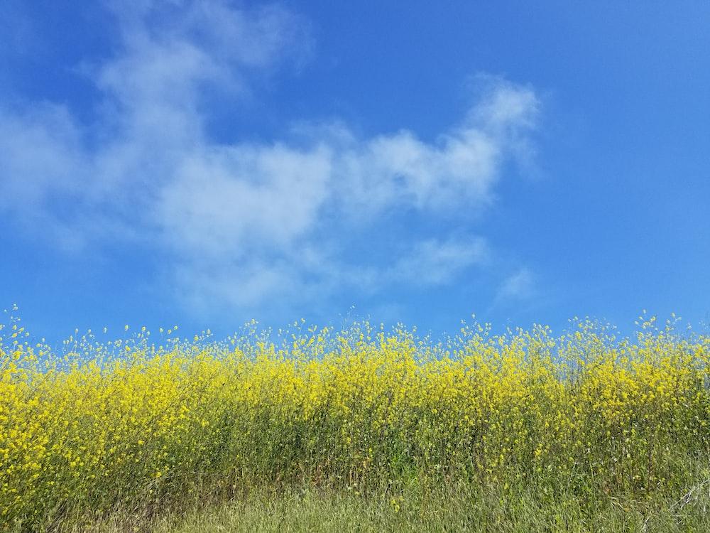 yellow petaled field flower