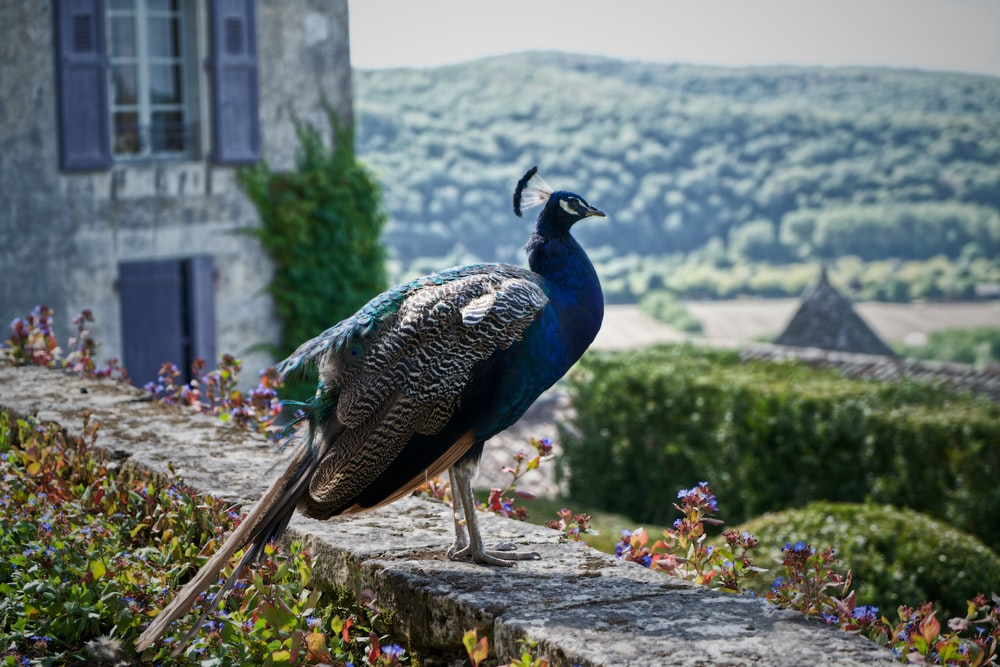 blue and gray fowl