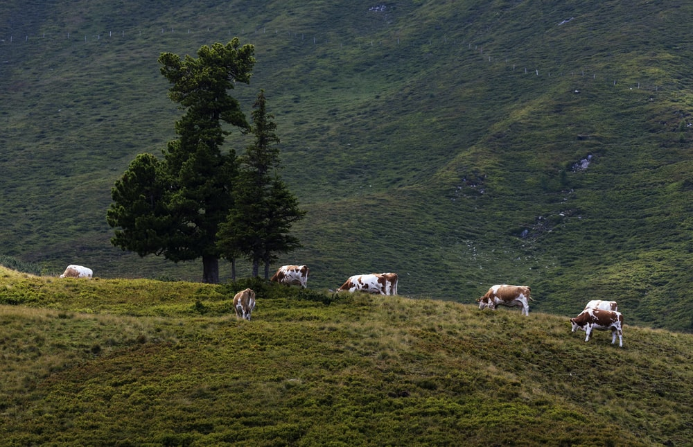 cattle near green trees during daytime