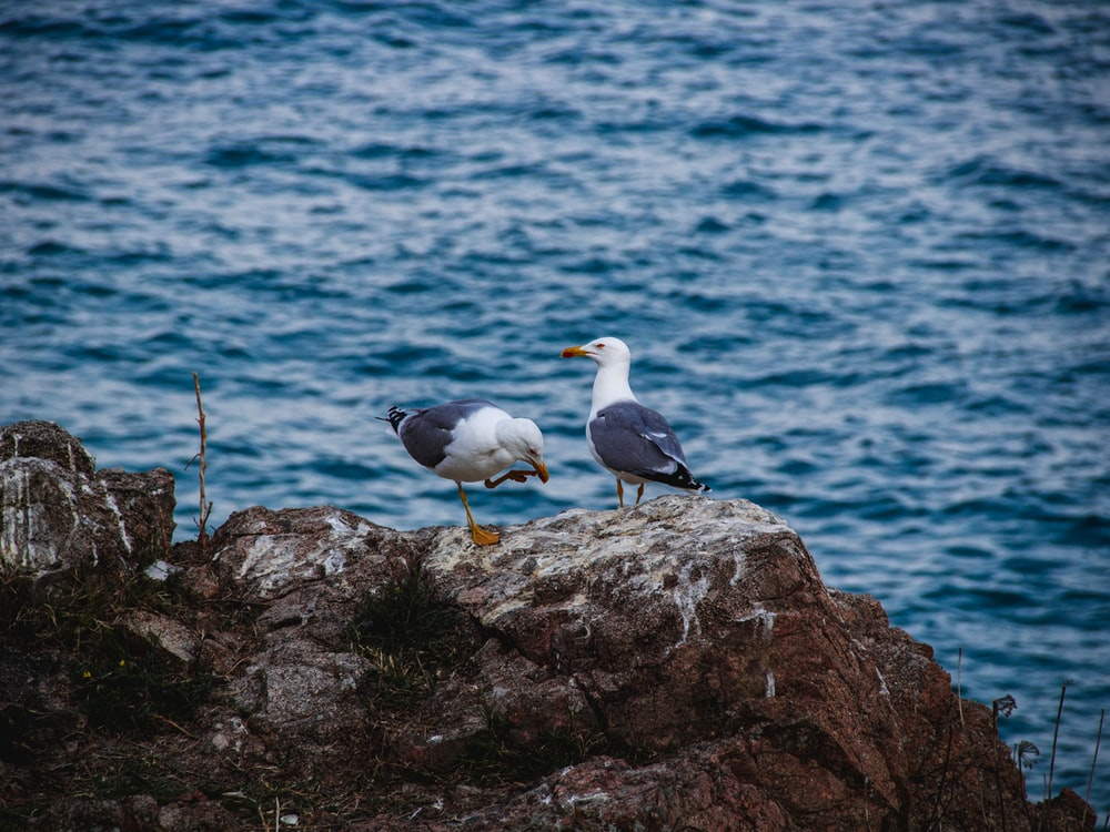 two seagull on rock