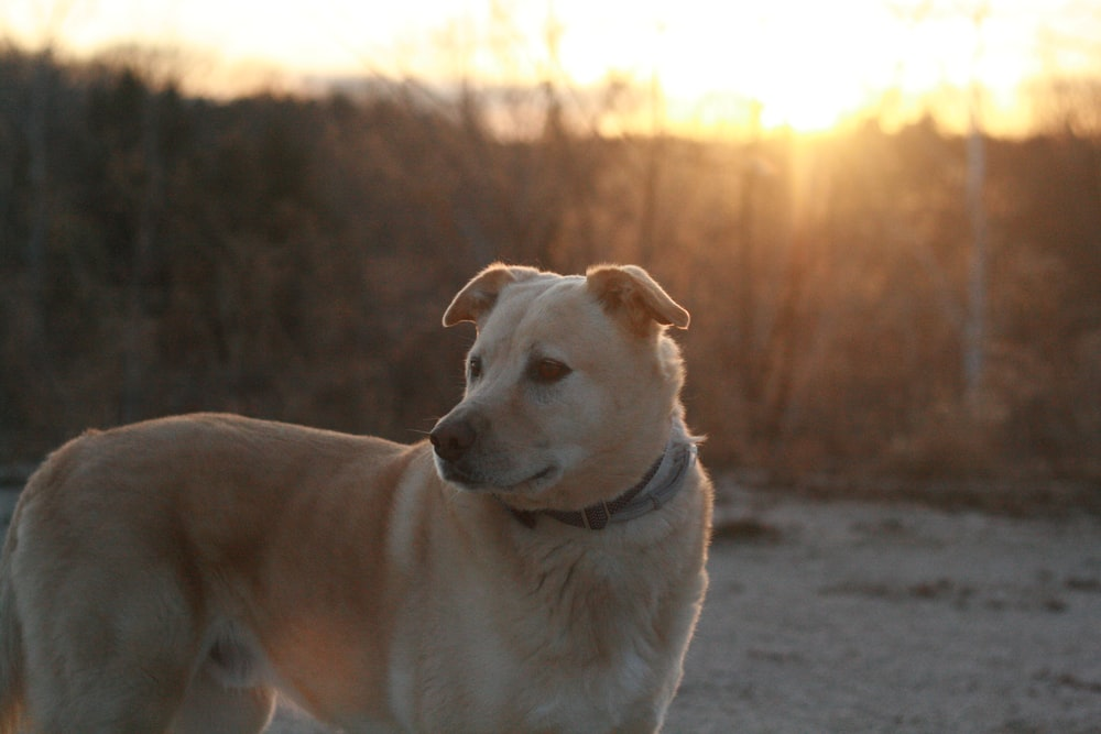 selective focus photography of adult short-coated tan dog