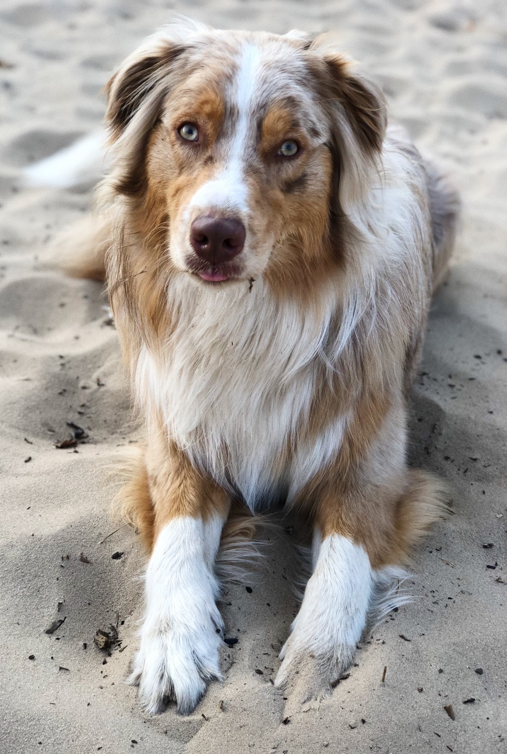 long-coated white and brown dog on sand dunes