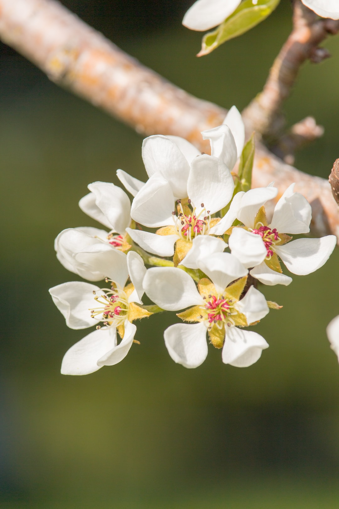 The first blossoms of our pear tree in our garden.