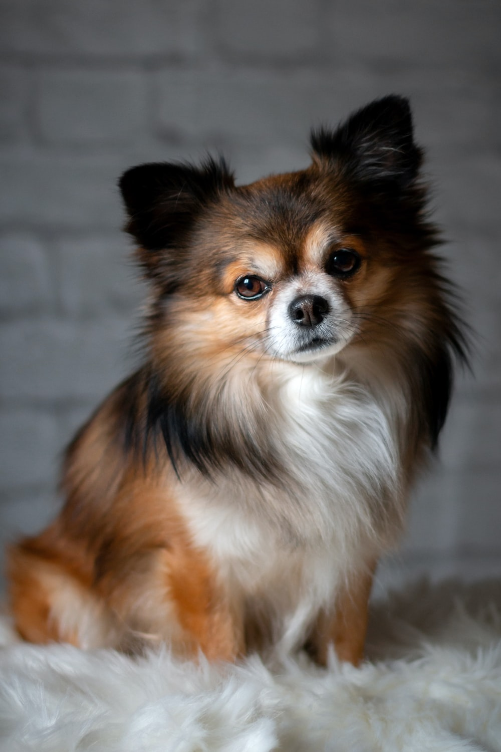 long-coated white and brown dog near wall