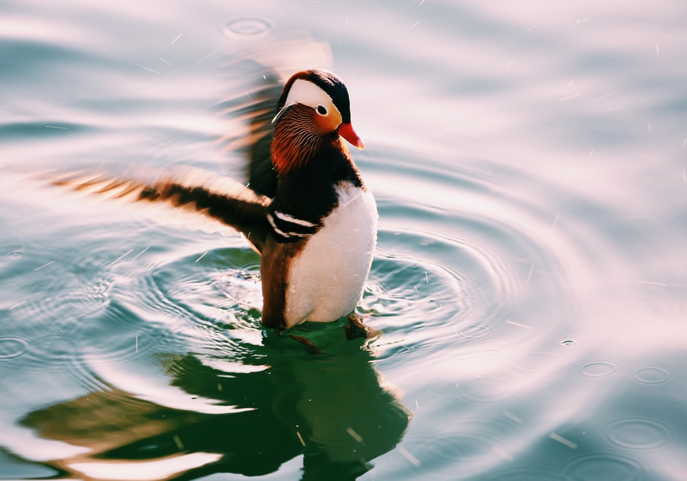 Mandarin duck flocking its wings above water