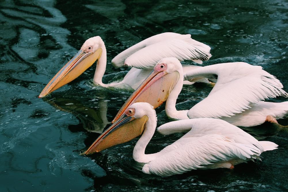 three white ducks on body of water