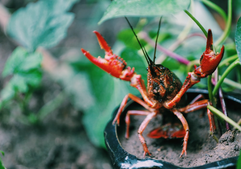 crayfish on potted plant