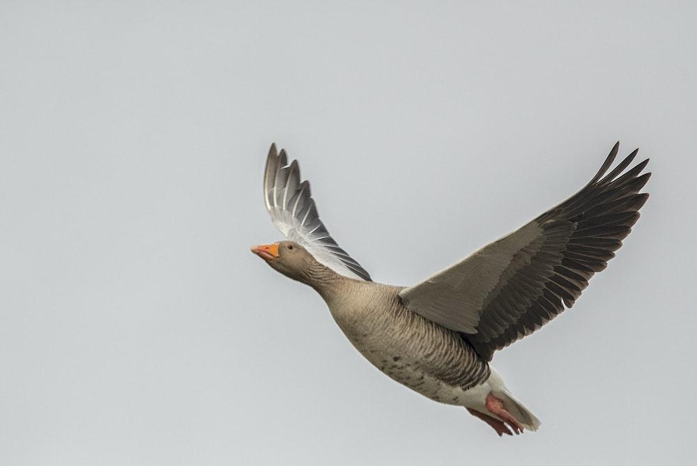 soaring gray bird
