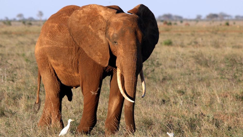 brown elephant on desert
