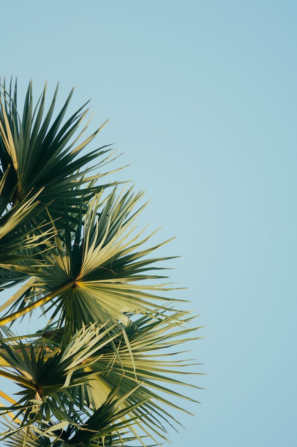 fan palm tree under blue sky