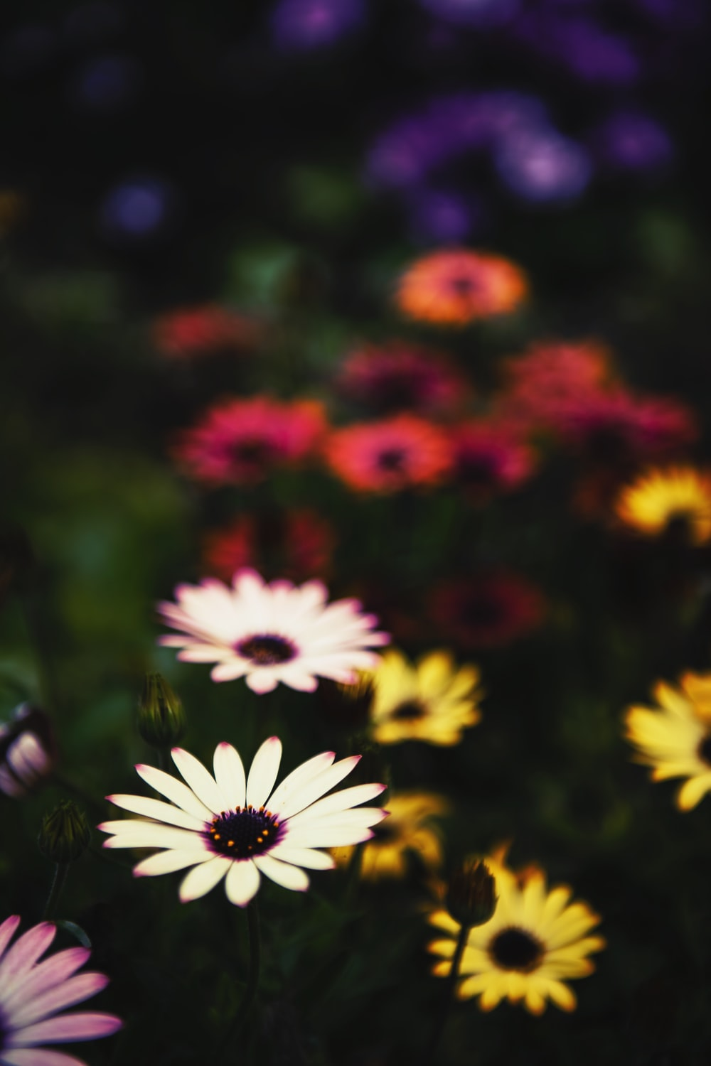 selective focus photography pink and yellow daisy flowers