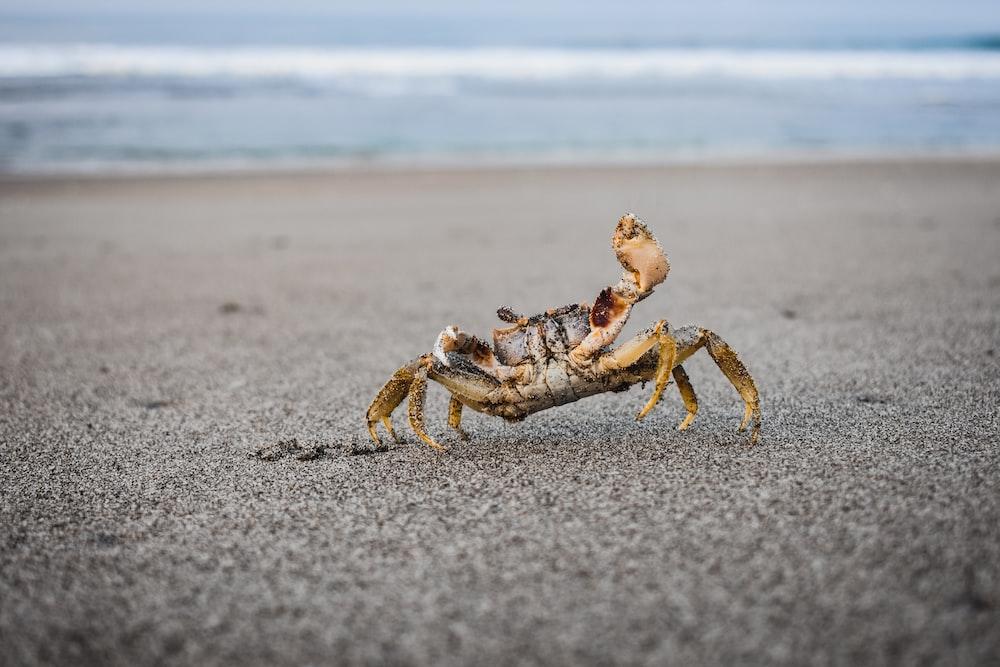 brown crab near shore