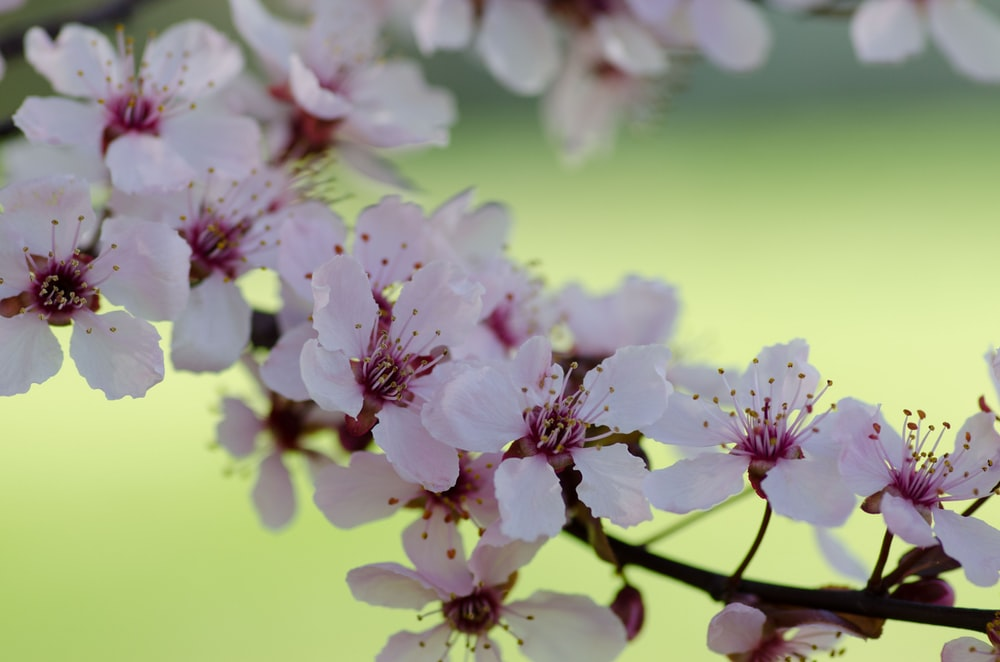 white and pink cherry blossoms blooming