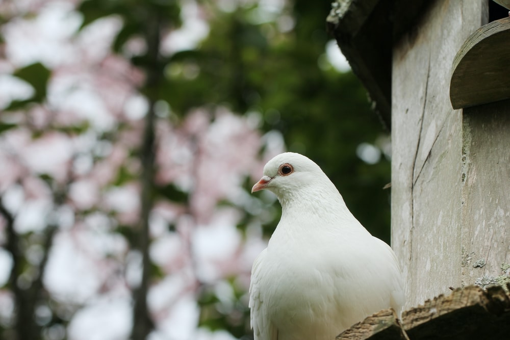 selective focus photography of white pigeon
