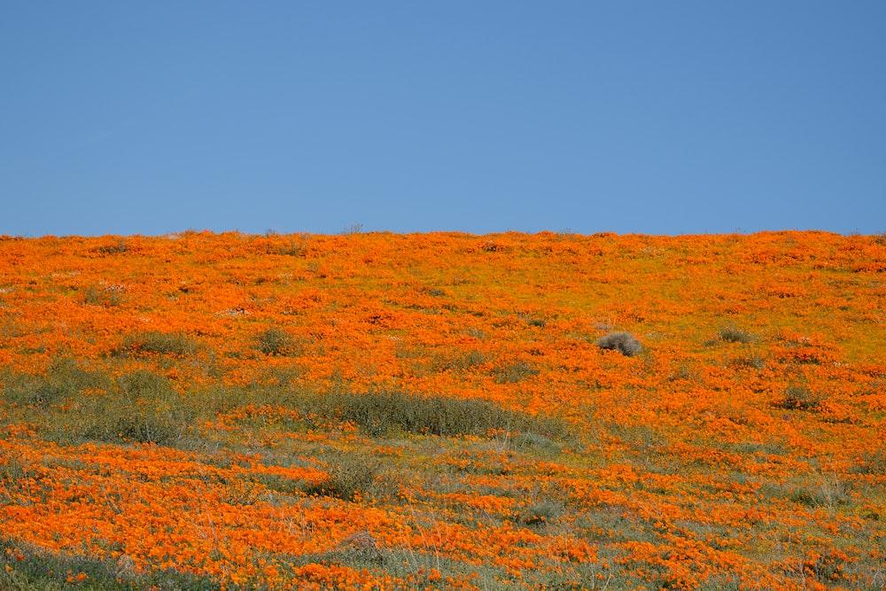 landscape photography of orange flower field