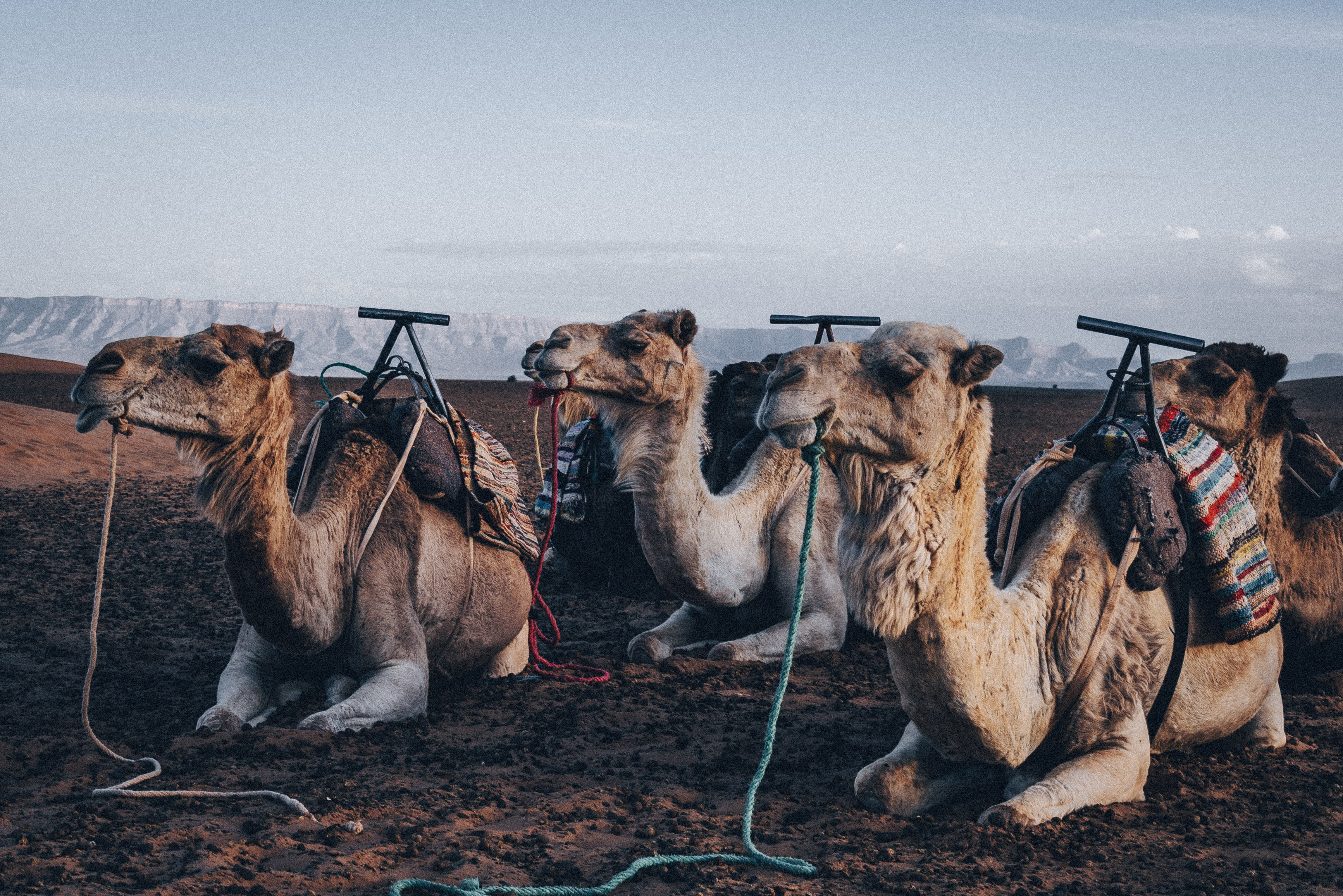 four brown camels