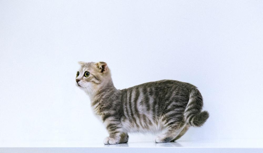 short-fur gray cat on white floor