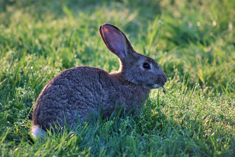 gray rabbit on green field