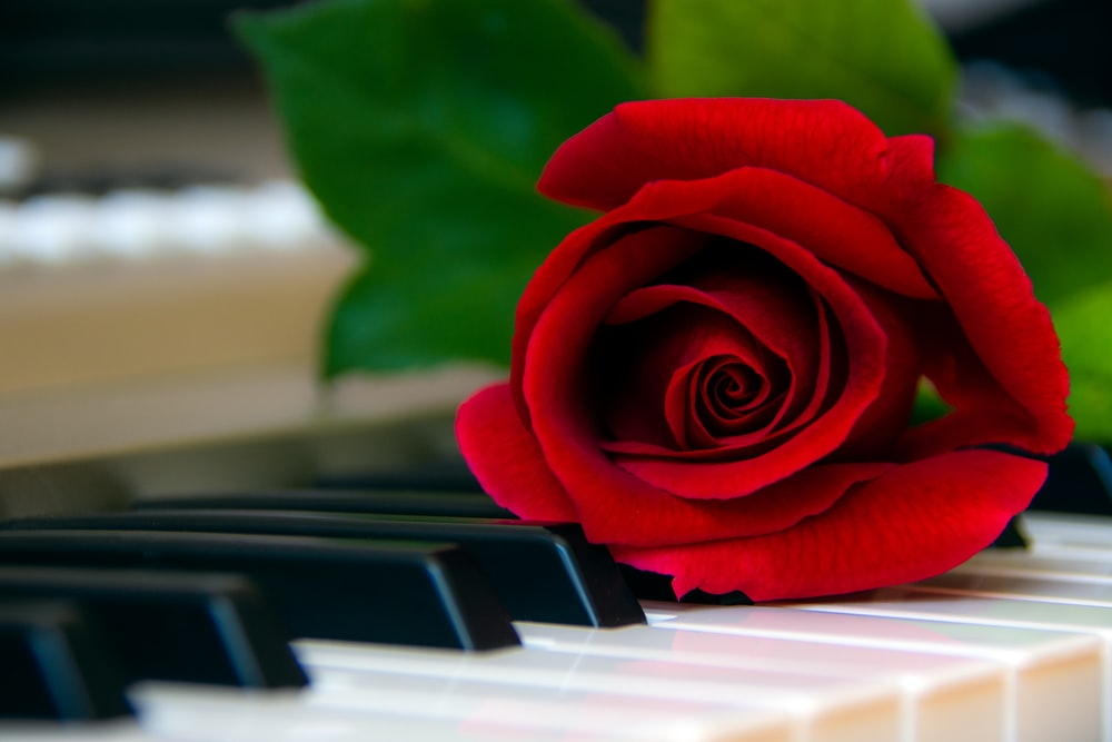 red rose on top of piano