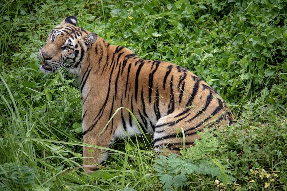 brown tiger sitting on green grass