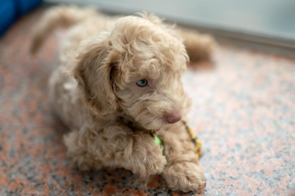 short-coated fawn dog