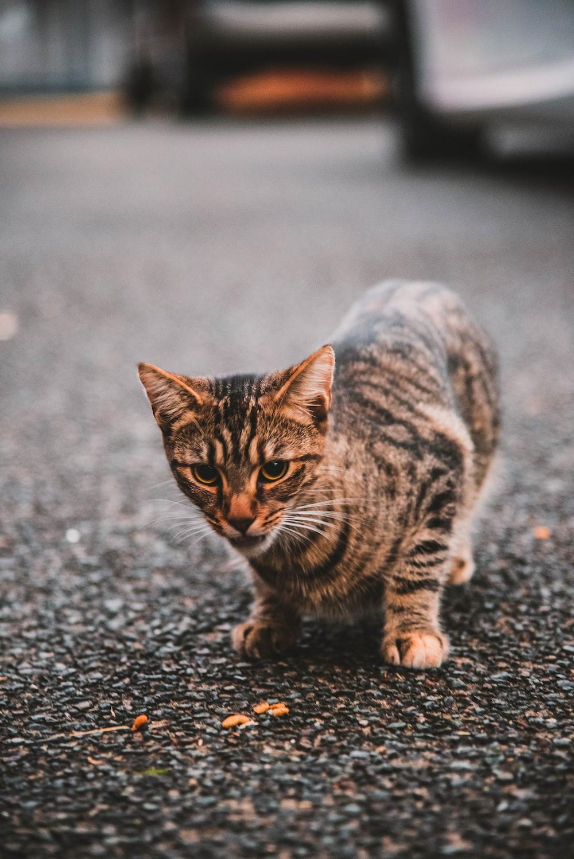 short-fur brown cat walking on road