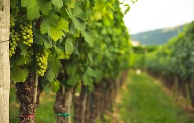 4642. Bor,szőlő, borászatok