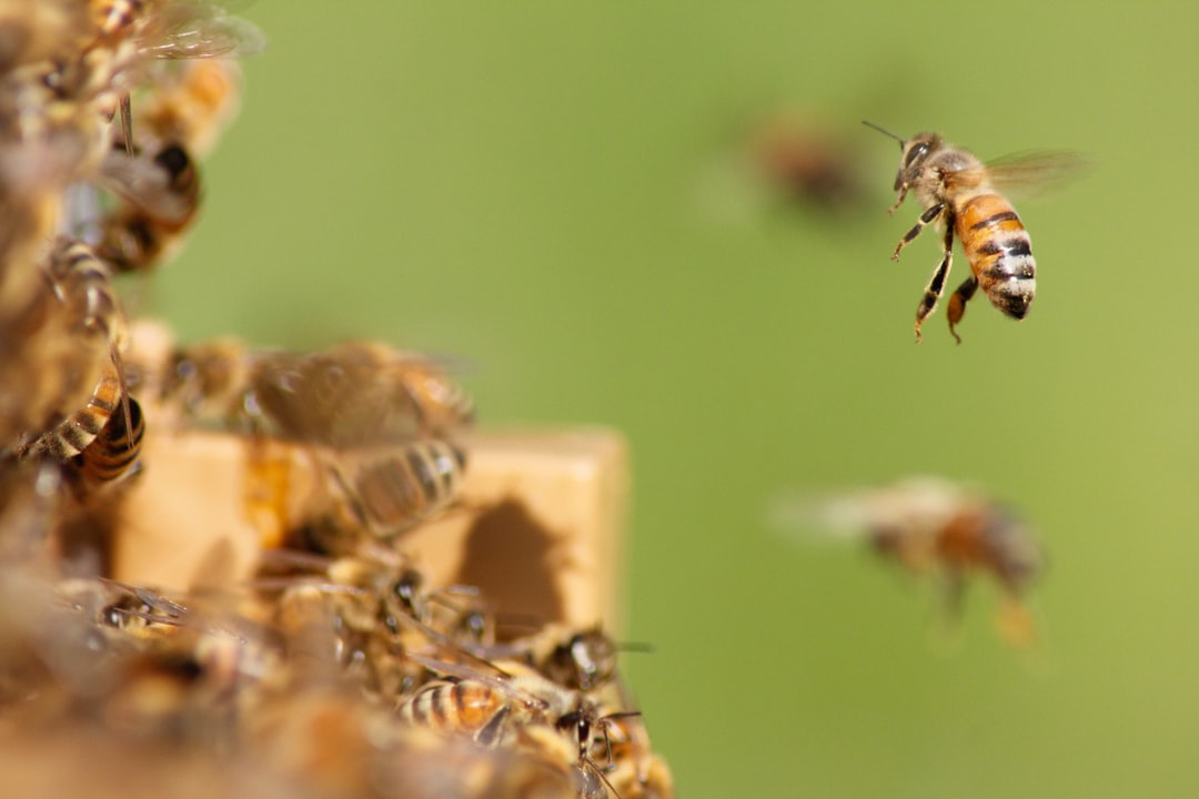 Photo of a bee slowing down to get into the hive. The arrival of bees is often approximate. Bees often bump into her as they arrive in the hive.