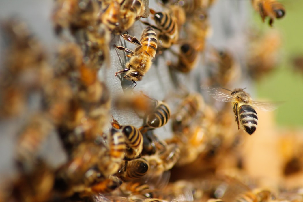 raising honey bees