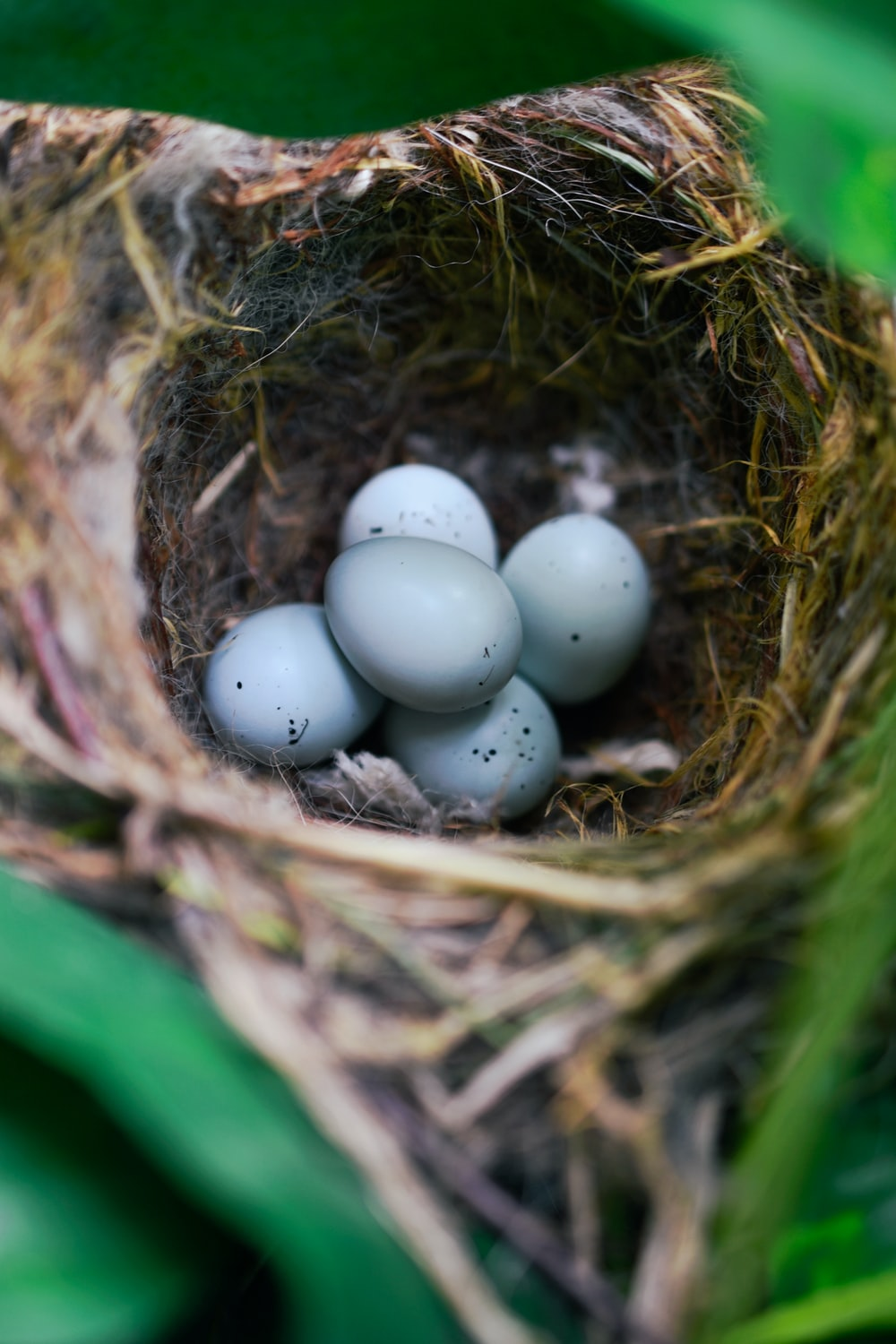 selective focus photography of five bird eggs in nest