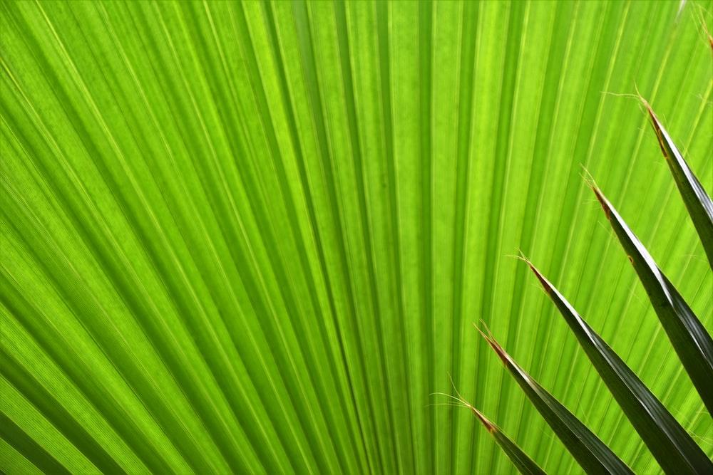 green fan palm plant leaf