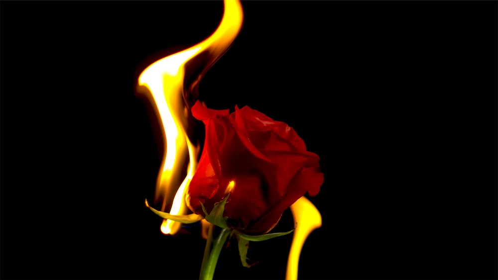 red rose flower with fire