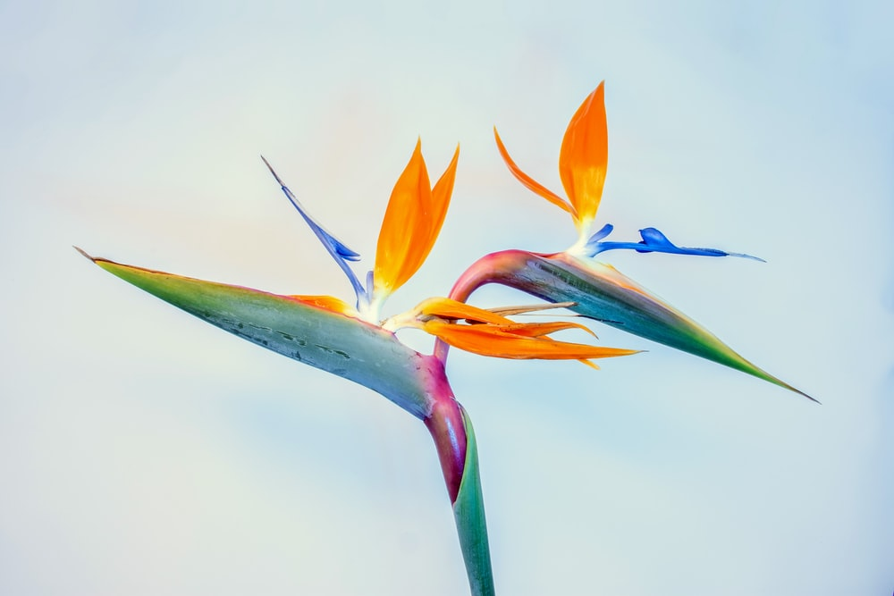 blue and orange flower