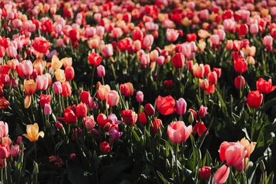 red tulip flower field mother's day teams background