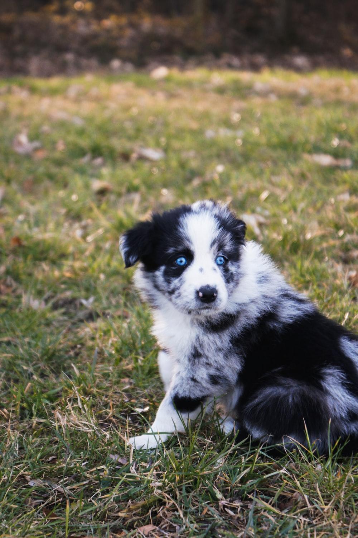 Short coat black and white dog lying on green grass during daytie