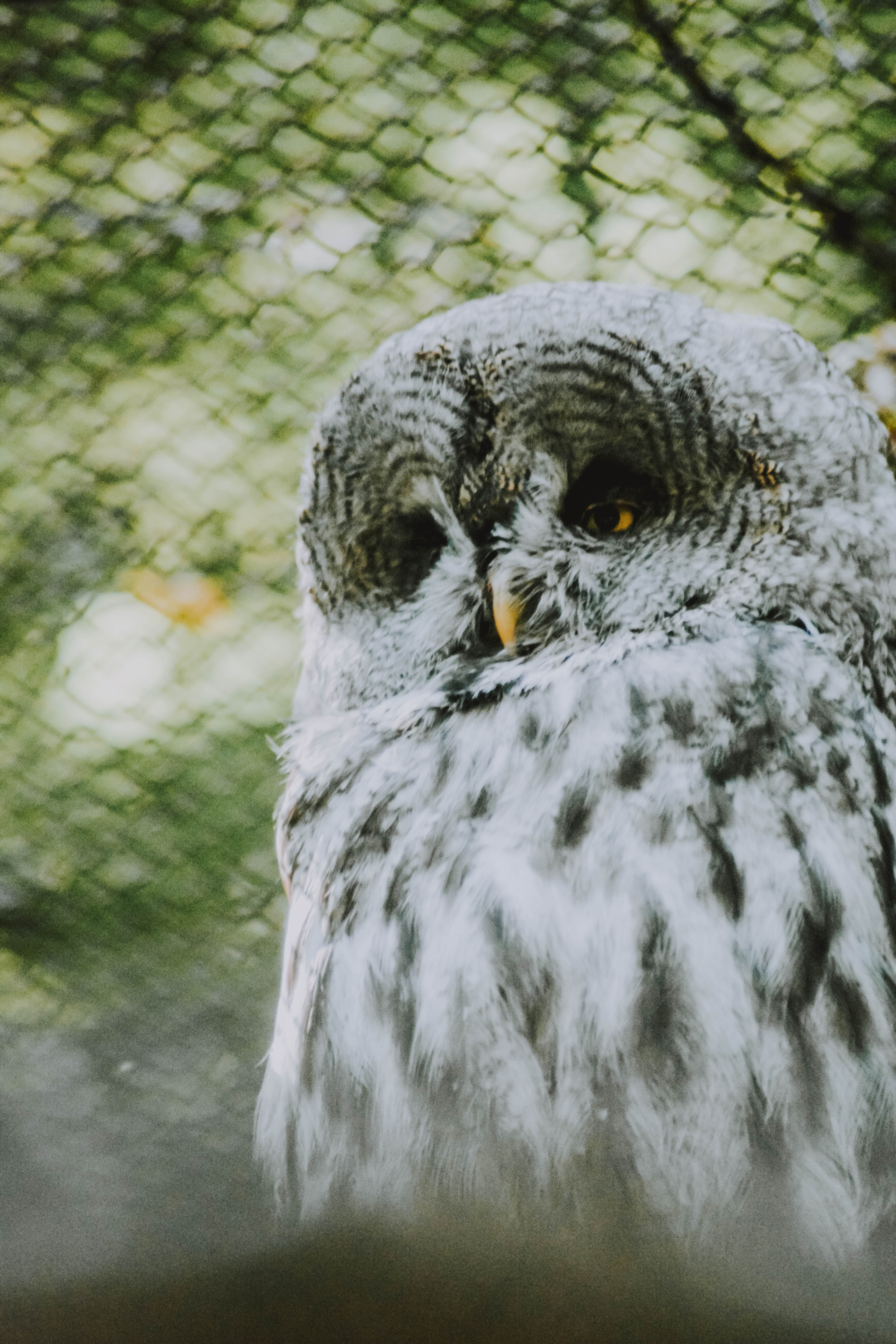 white and gray owl