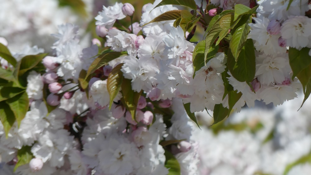 selective focus photo of white cherry blossom