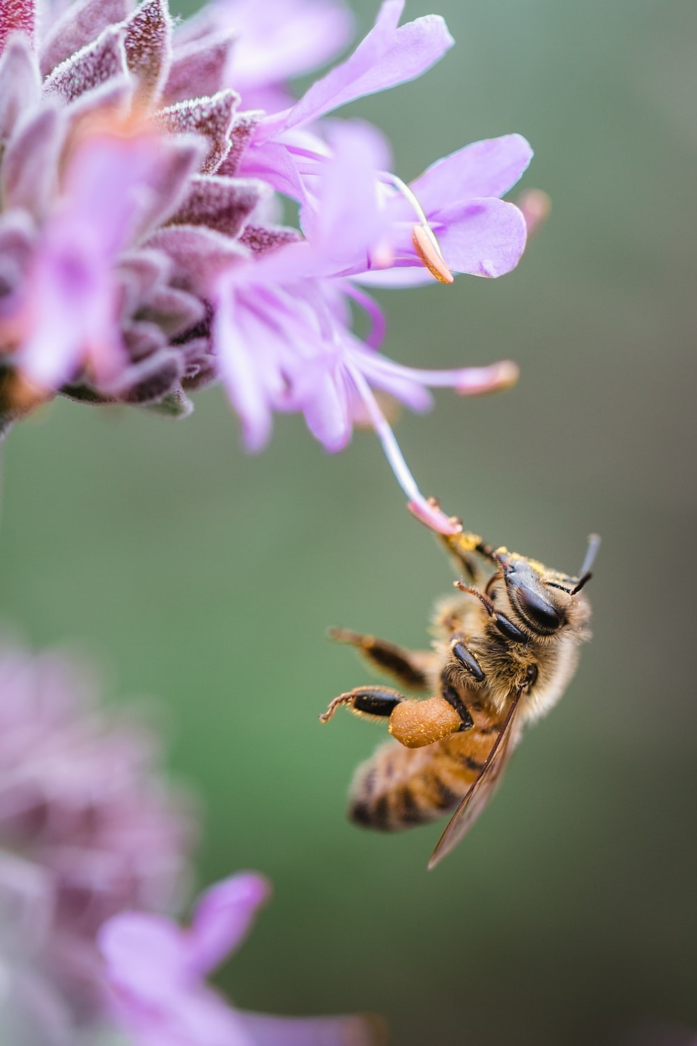 bee sipping on purple floewr
