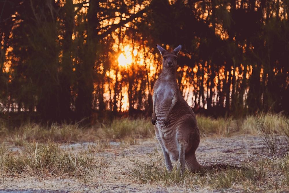 brown kangaroo near forests