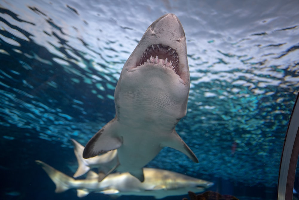 great white shark on water