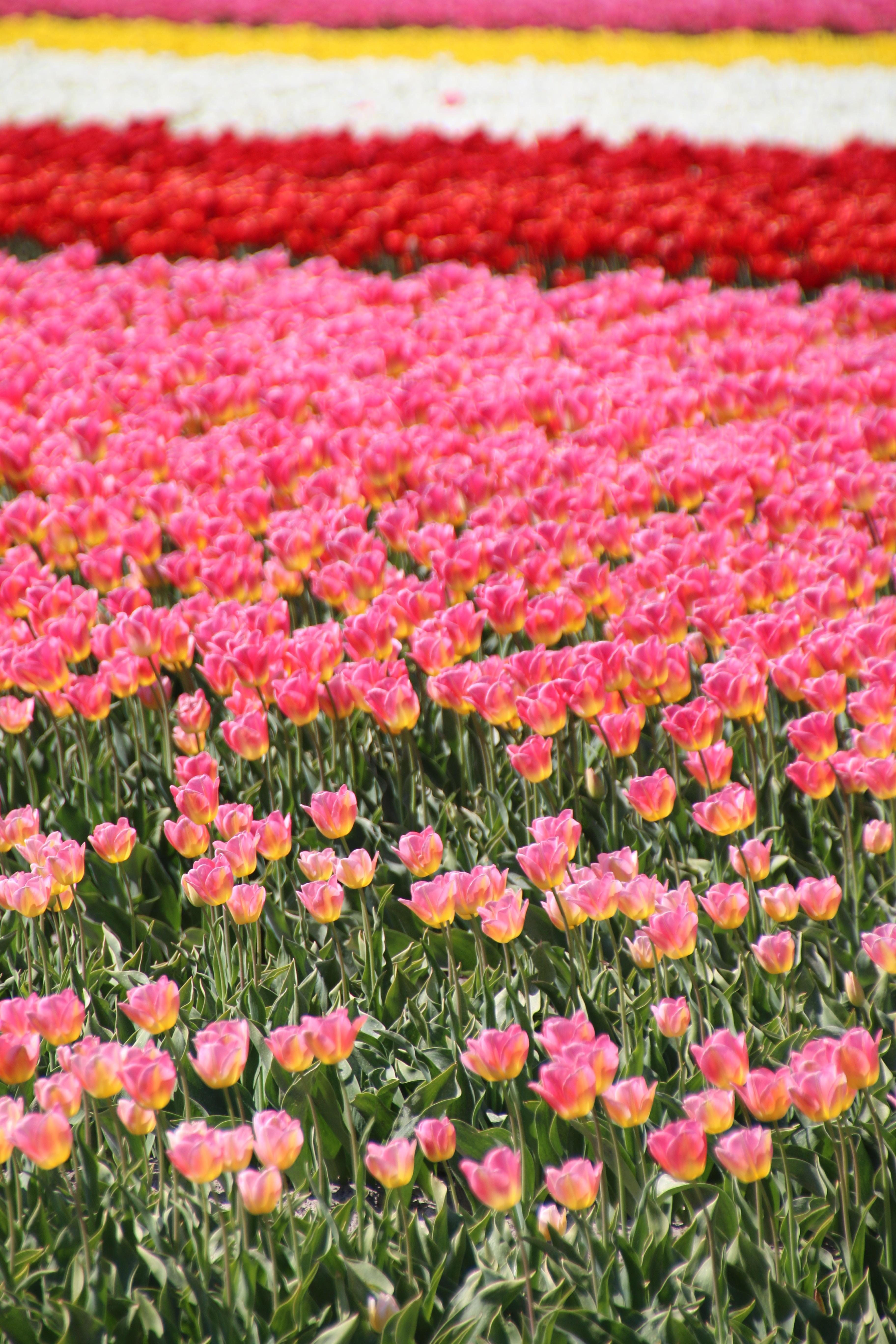 pink-petaled flowers garden