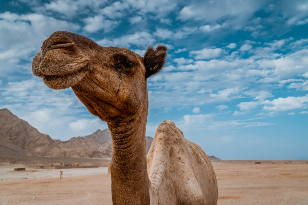 brown camel photo across clouds