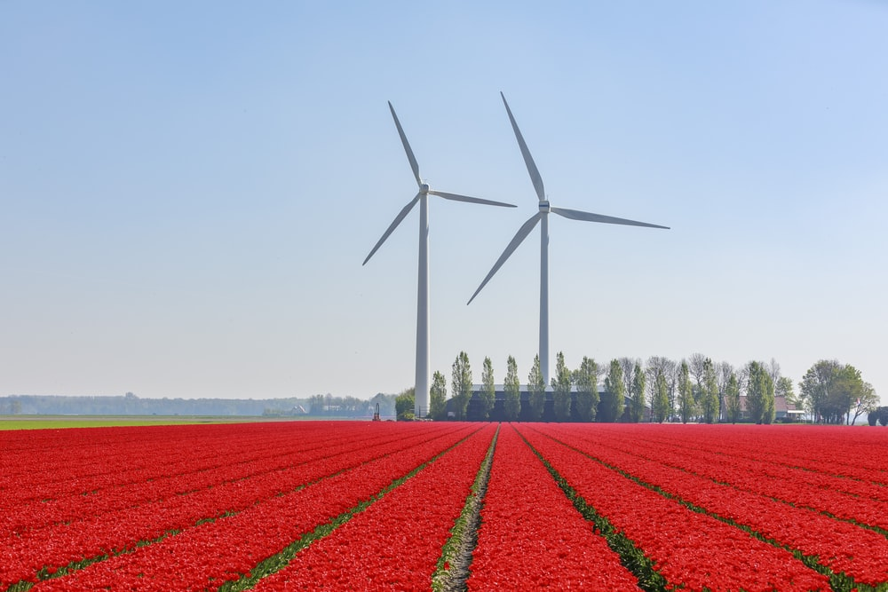 red flower field near wind turbines