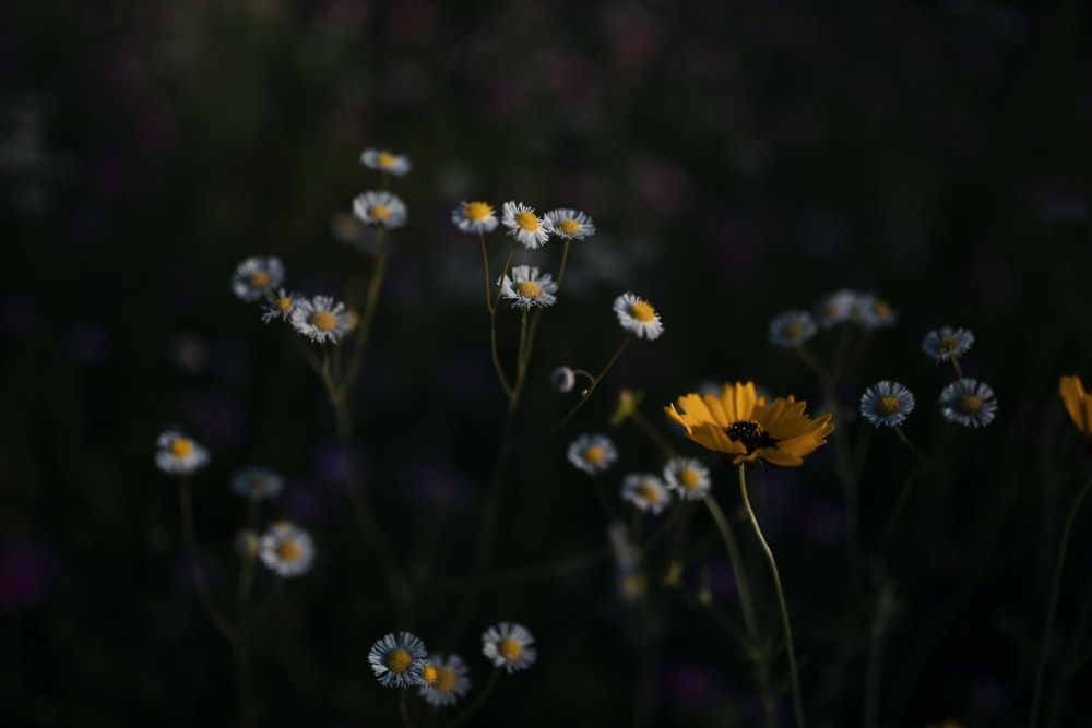 bed of daisy with black background