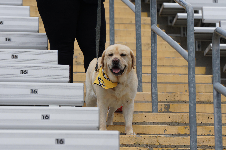 adult yellow Labrador retriever dog standing on ladder